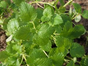 Ein Tee aus den Blättern der Zitronenmelisse wirkt beruhigend bei Schilddrüsenüberfunktion.