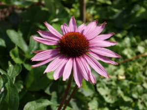 Die Einnahme von Echinacea-Präparaten ist bei Hashimoto und Basedow nicht empfehlenswert!